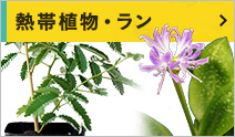 熱帯植物・ラン